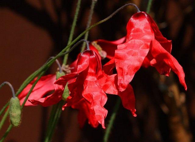 Меконопсис пурпурный (пурпурно-красный), или Меконопсис пуницеа (Meconopsis punicea)