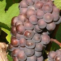 Пино-гри — сорт винограда