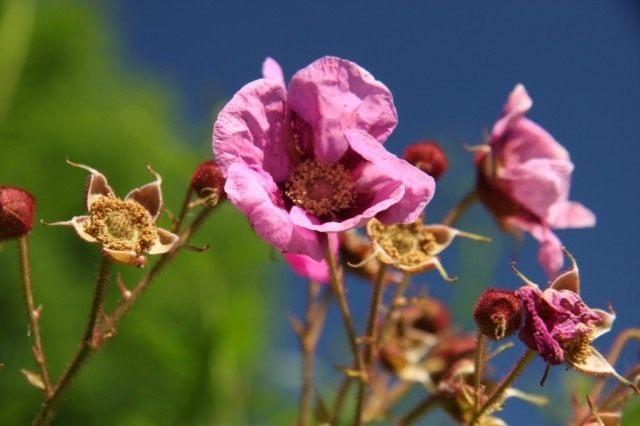 Малиноклён душистый, или Малиноклён пахучий, или Малина душистая (Rubus odoratus)