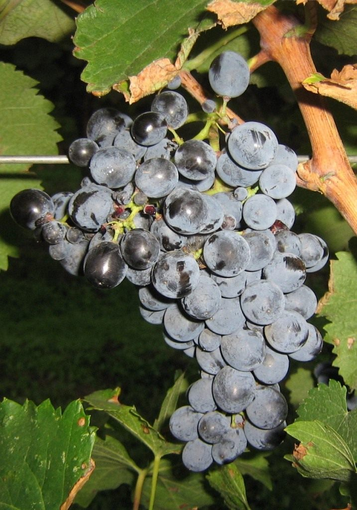 Сорт винограда вероника фото и описание