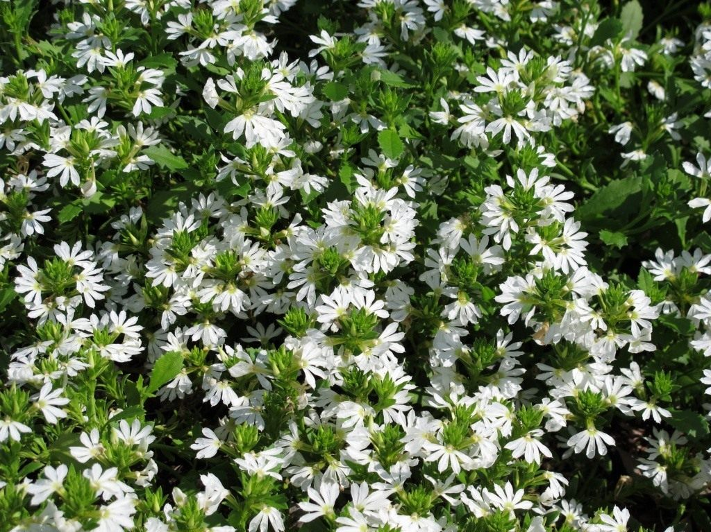 https://www.botanichka.ru/wp-content/uploads/2015/11/Scaevola_amuela_02.jpg