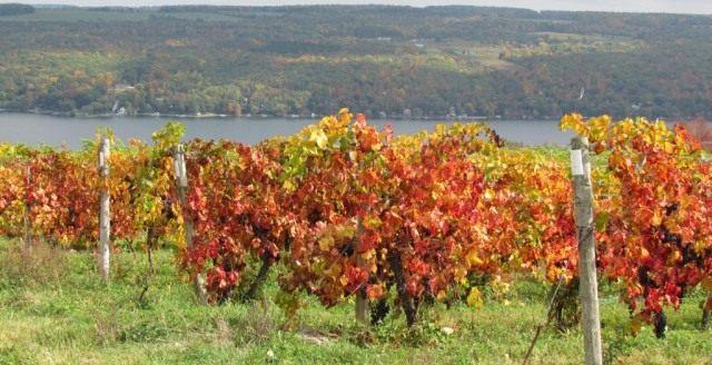 Виноградник винограда амурского (Vitis amurensis)