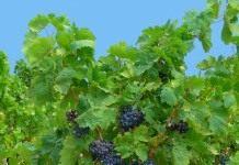 Группы и сорта винограда