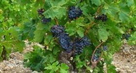 Группы и сорта винограда - Сад и огород