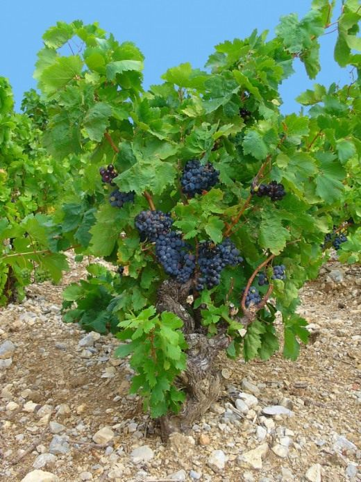 Виноград культурный