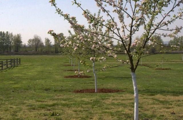 Побеленные весной стволы яблонь