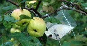 Вредители яблони и методы борьбы - Сад и огород