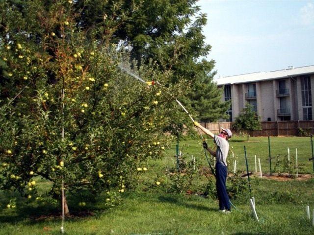 Обработка яблони специальными препаратами
