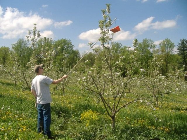 Развешивание биоловушек на яблонях