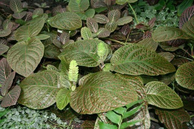 Фиттония гигантская (fittonia gigantea)