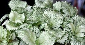 Сетчатая скромница фиттония - Комнатные растения