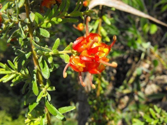 Цветки гревиллеи альпийской