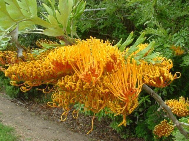 Цветки гревиллеи крупной