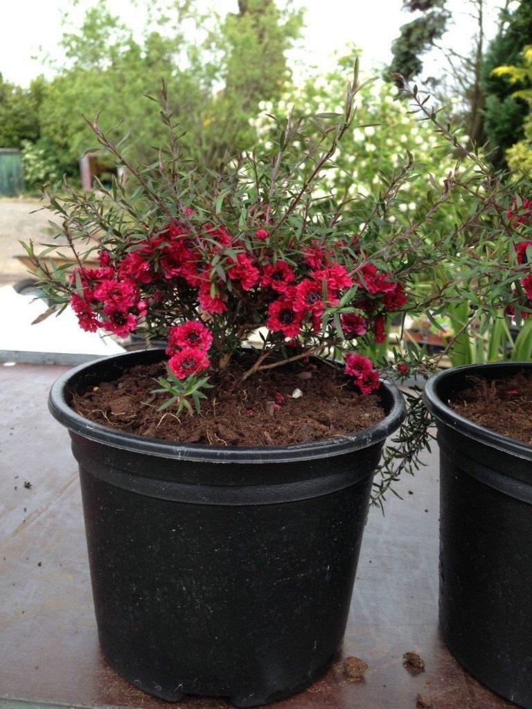 Форум о цветах и комнатных растениях  flowrumru