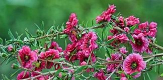 Тонкосемянник (Лептоспермум) метловидный (метельчатый), или Манука (Leptospermum scoparium)