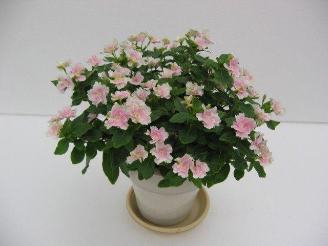 Катарантус розовый сорт 'Angel Tutu'