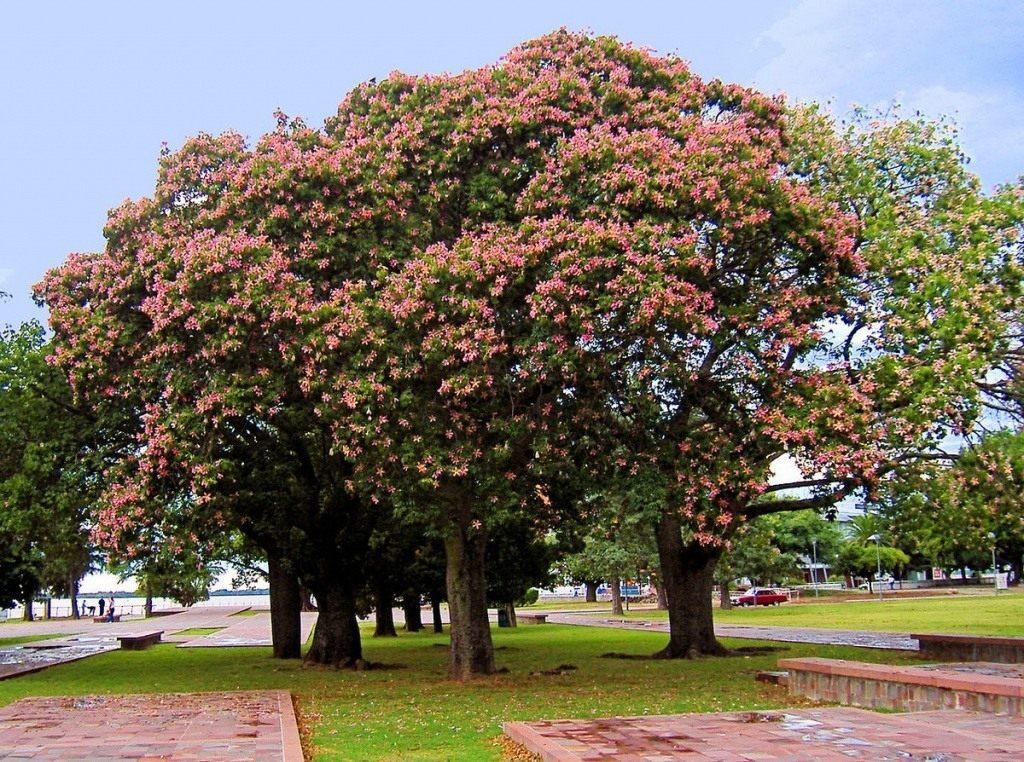 Ceiba-speciosa-01