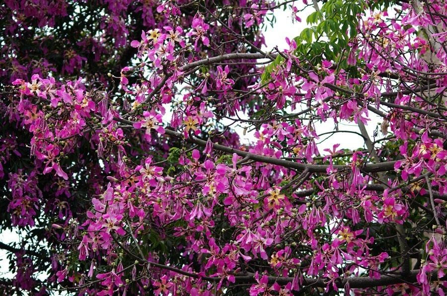 Ceiba-speciosa-02