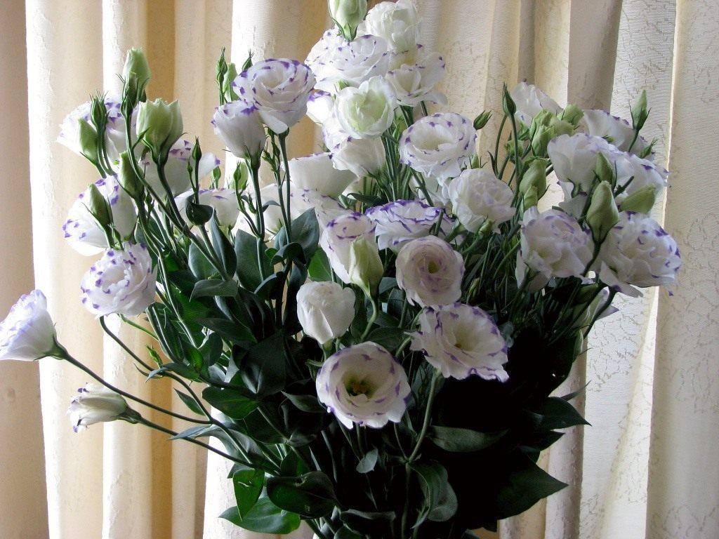Однолетний цветок эустома
