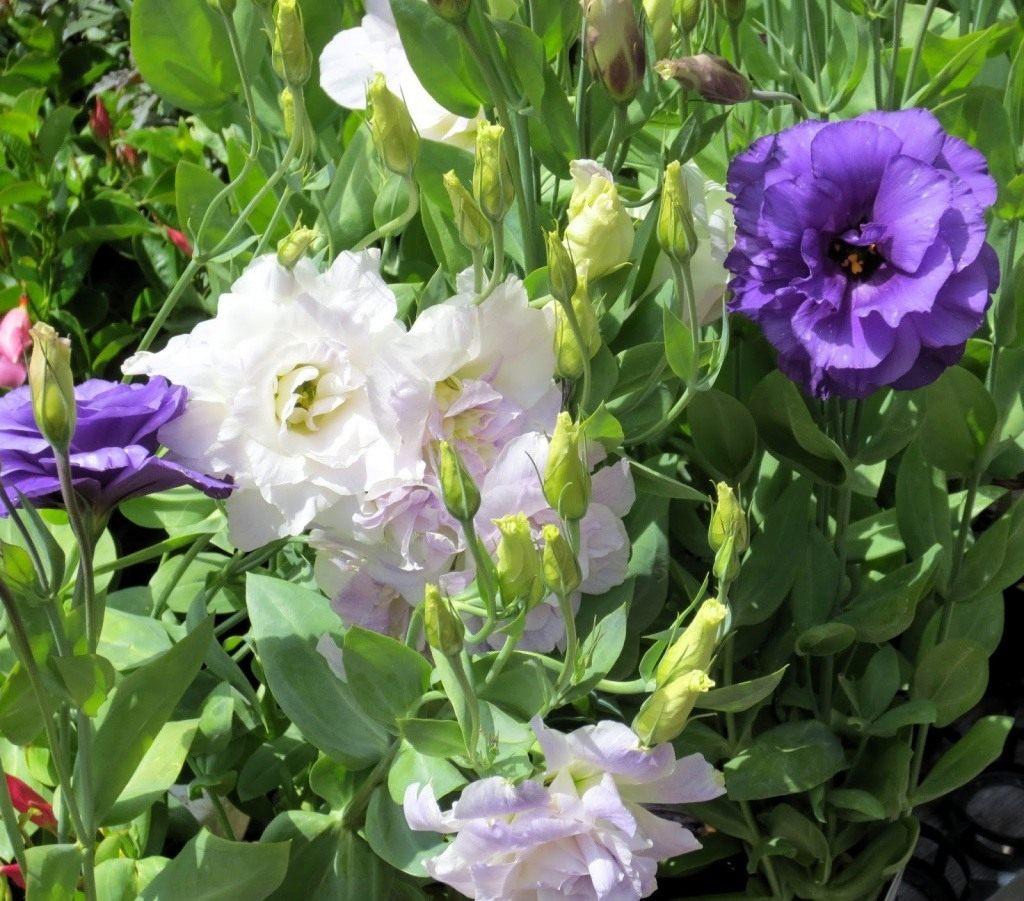 Выращивание эустомы из семян, мастер-класс, фото