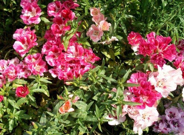 Разнообразие расцветки Годеций