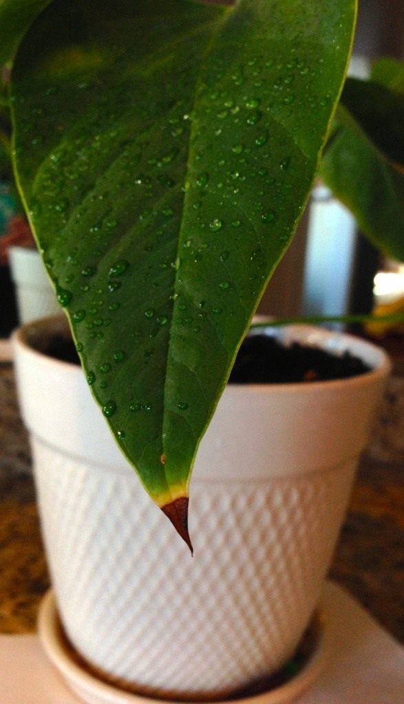 Сохнут кончики листьев антуриума