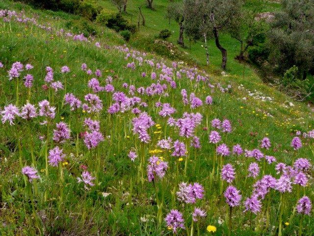 Ятрышник итальянский (Orchis italica)