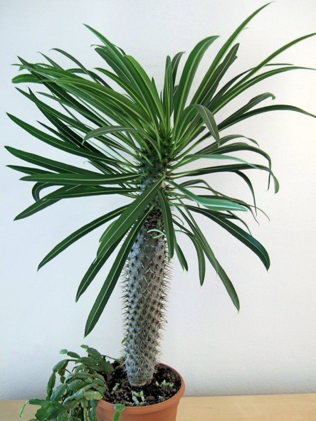 Пахиподиум Ламера (pachypodium lamerei)