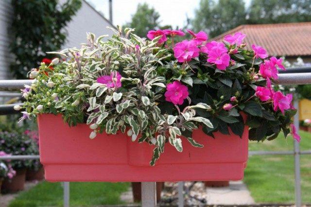 Оформление цветочной композиции в розовых тонах . Использованы: недотрога, куфея, фуксия