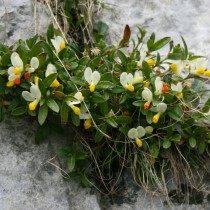 Истод самшитовидный, Истод стелющийся (Polygala chamaebuxus)