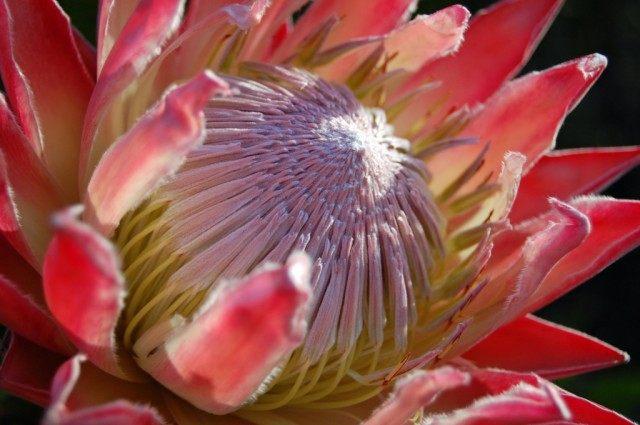 Протея артишоковая (Protea cynaroides)