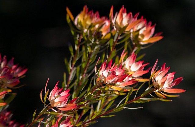 Протея ползучуя (Protea repens)