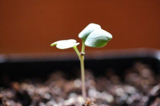 Рассада капусты, 1 неделя после посева