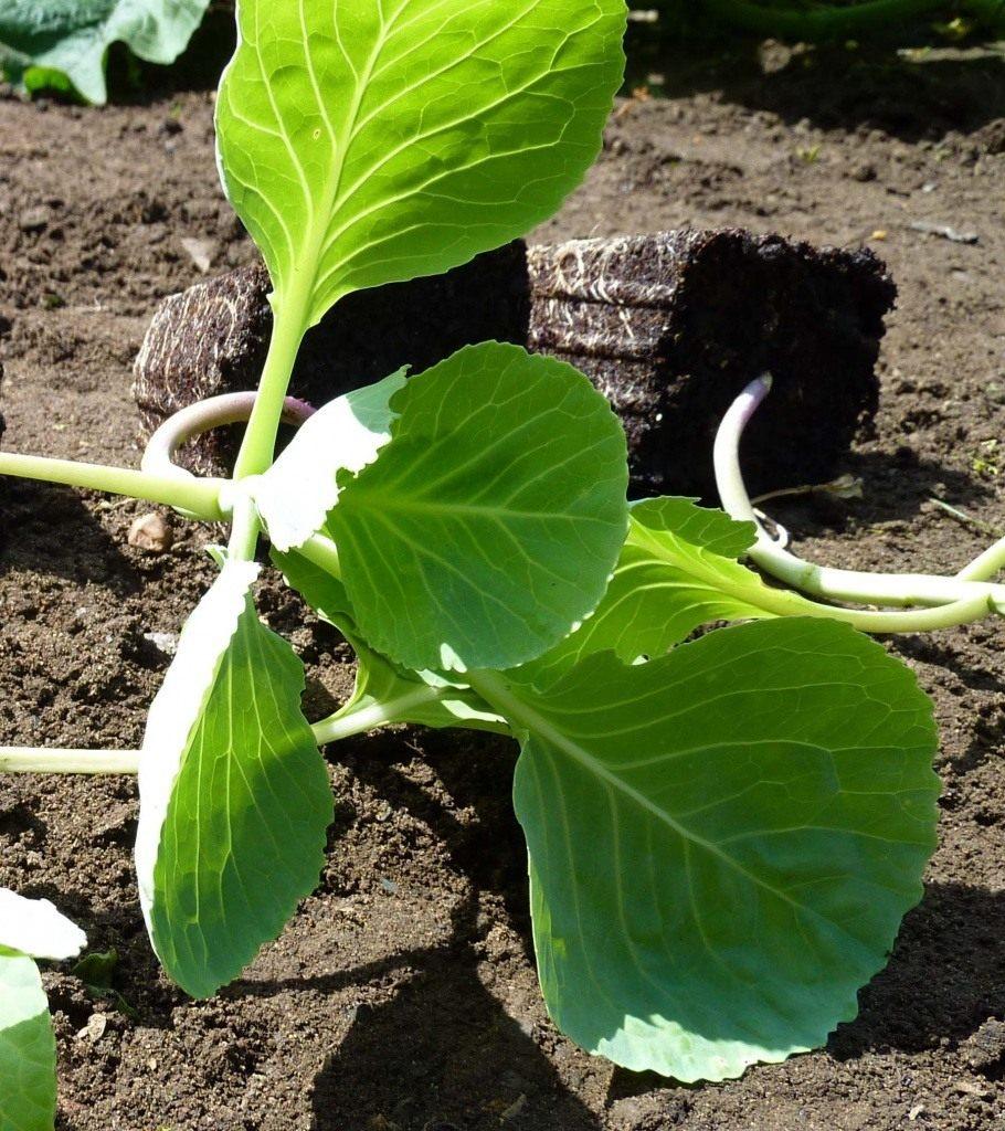 Как вырастить савойскую капусту, ЧАСТНЫЙ ДОМ