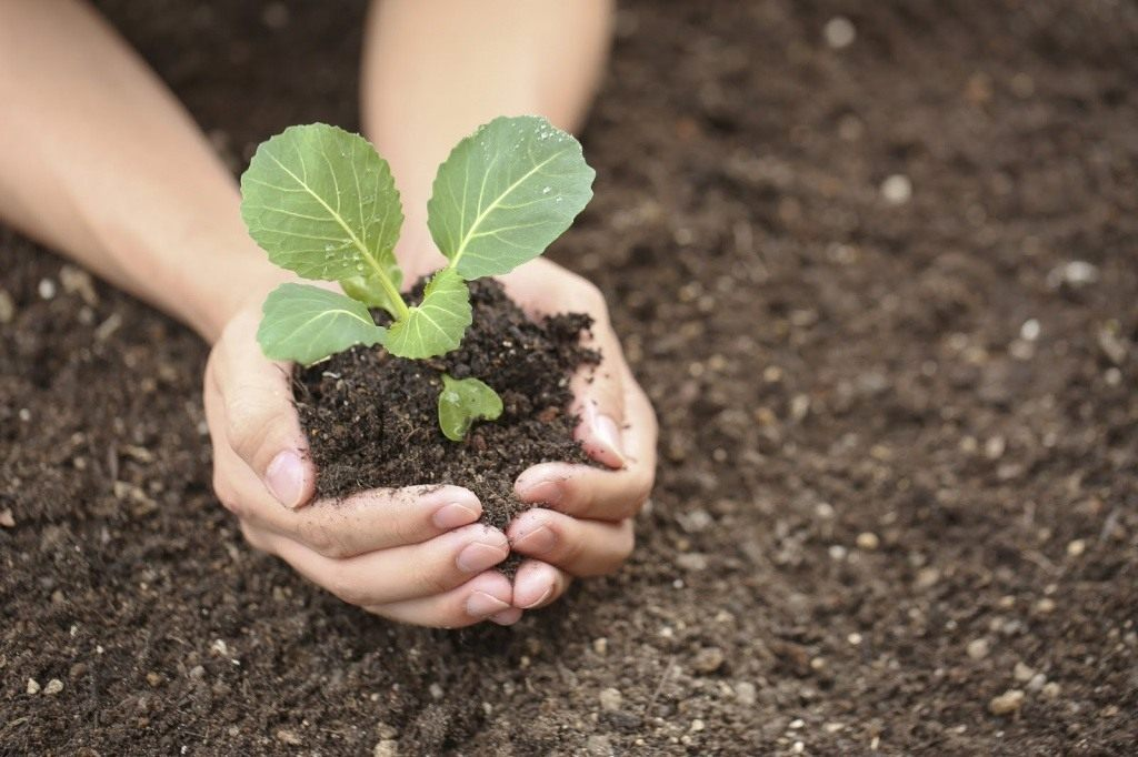 Выращивание капуста для семян 750