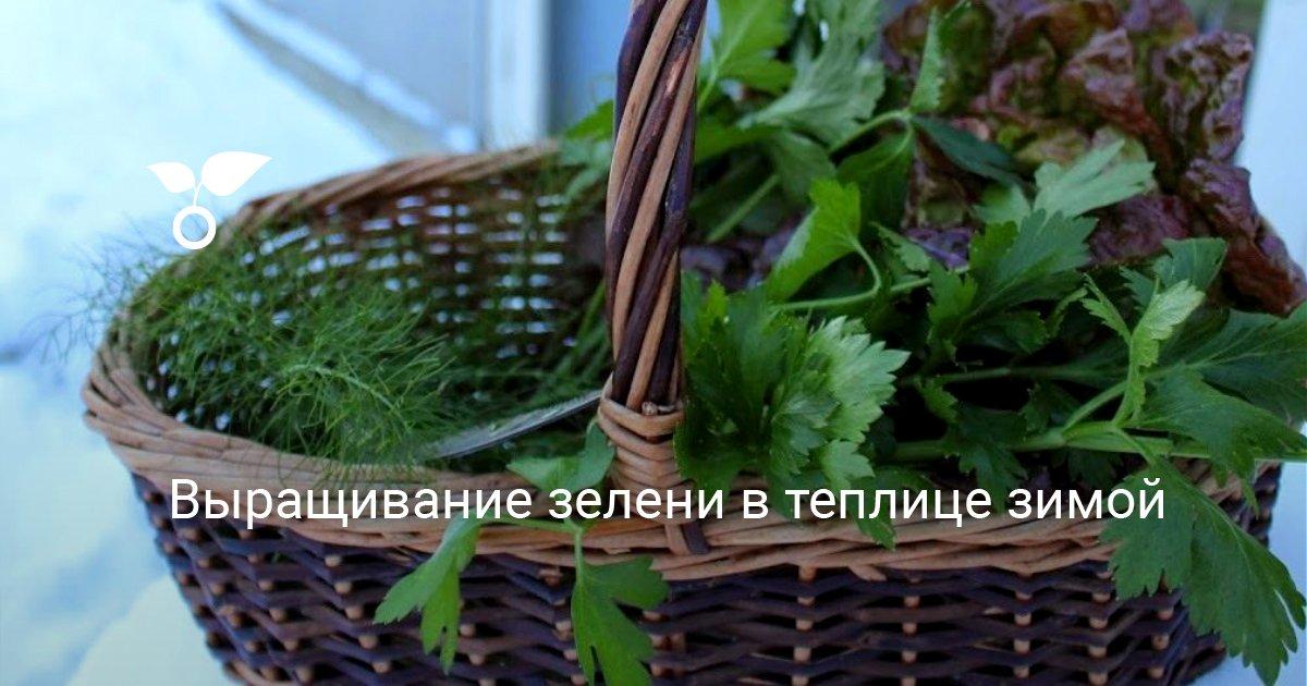 Как вырастить укроп и петрушка в теплице зимой на продажу, в домашних условиях?