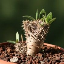 Пахиподиум густоцветковый (pachypodium densiflorum)