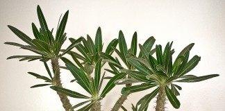 Пахиподиум розеточный (pachypodium rosulatum)