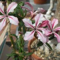 Цветки пахиподиума суккулентного