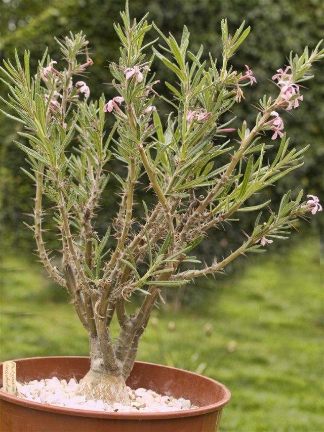Пахиподиум суккулентный (pachypodium succulentum)