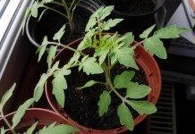 Правильное выращивание рассады томата