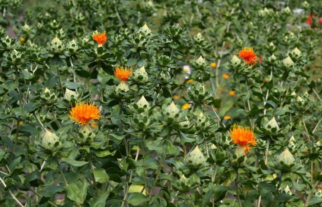 Агротехника выращивания сафлора 67