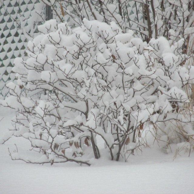 Стряхиваем снег с ветвей. Можно приступать к формированию кустарников
