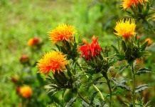 Колючие соцветия огненного сафлора