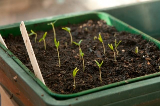 Приступаем к посеву семян на рассаду