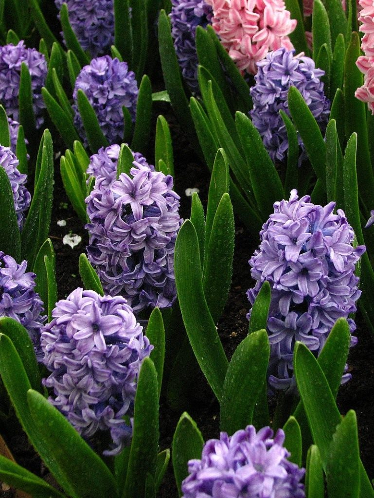 800px-Hyacinthus_orientalis_blue_cultivar_01