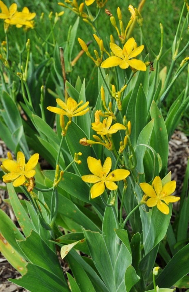 Ирис доместика или Беламканда китайская желтоцветковая форма флава