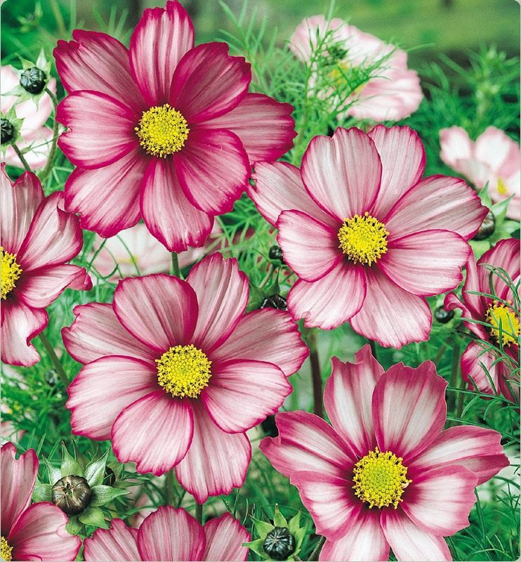 Candy-Stripe-Cosmos-01