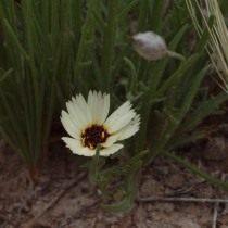 Катананхе песчаная (Catananche arenaria)