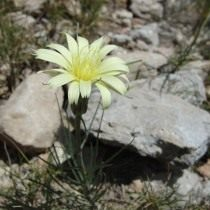 Катананхе дернистая (Catananche caespitosa)